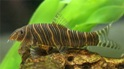 Фото боций : боция стриата (botia striata)